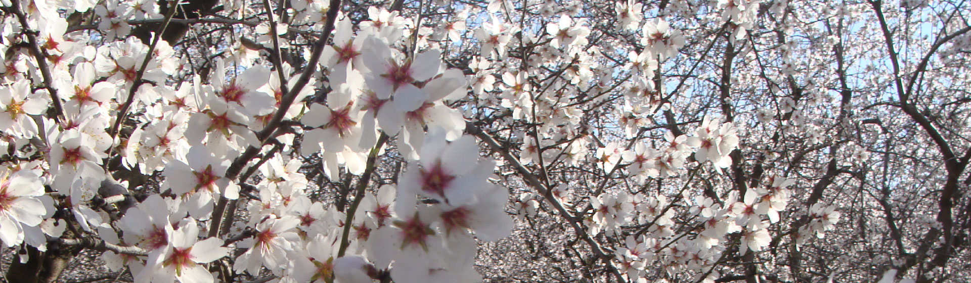 apricot-orchard-in-bloom