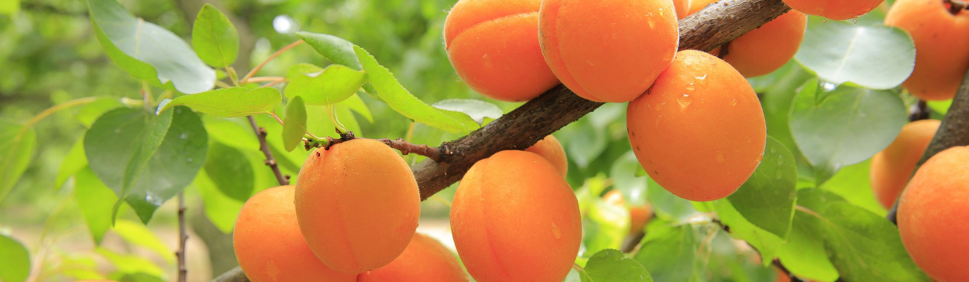 apricots-on-trees